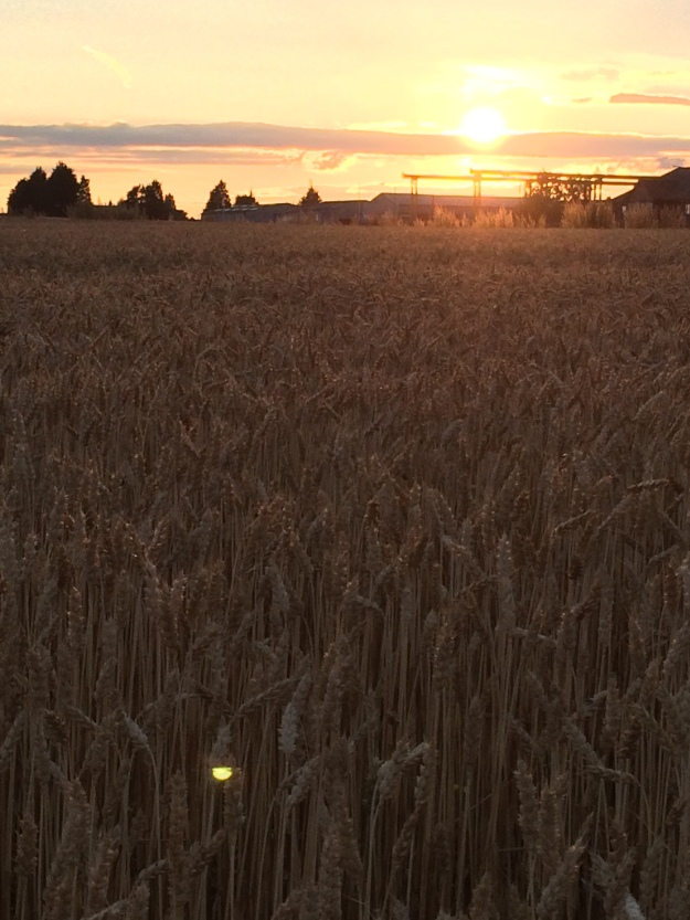 Light Upon The Wheat